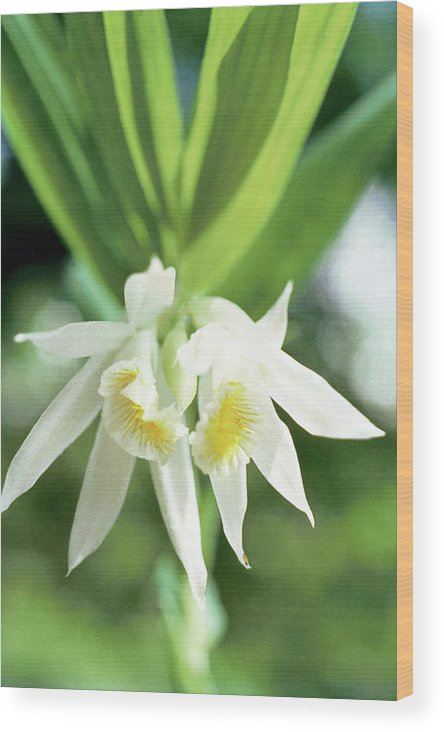 White Thunia Wood Print featuring the photograph White Thunia by Indian School