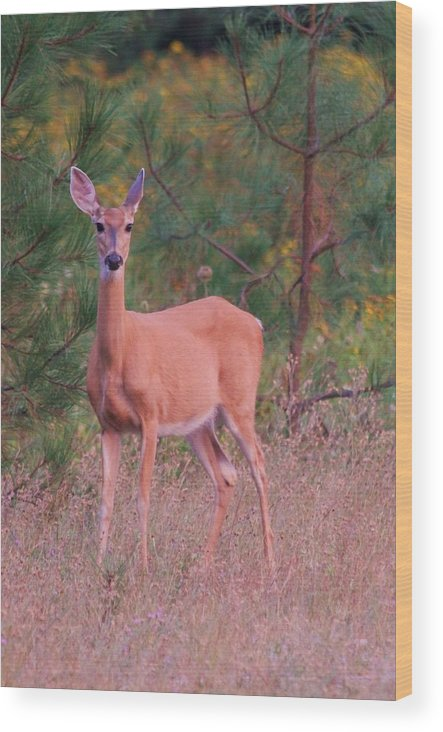 Deer Wood Print featuring the photograph Whitetail Doe by Roxanne Basford