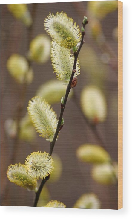 Betsy Lamere Wood Print featuring the photograph Willow Catkins by Betsy LaMere