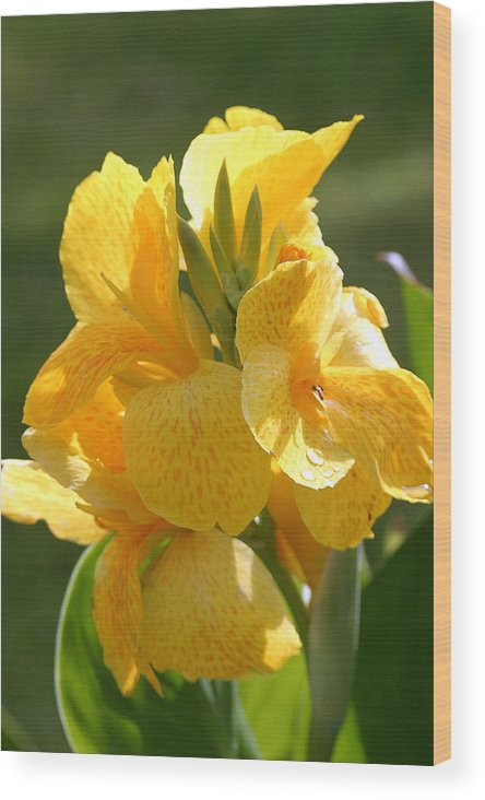 Indian Shot Wood Print featuring the photograph Yellow Canna Indica by Mark Mah