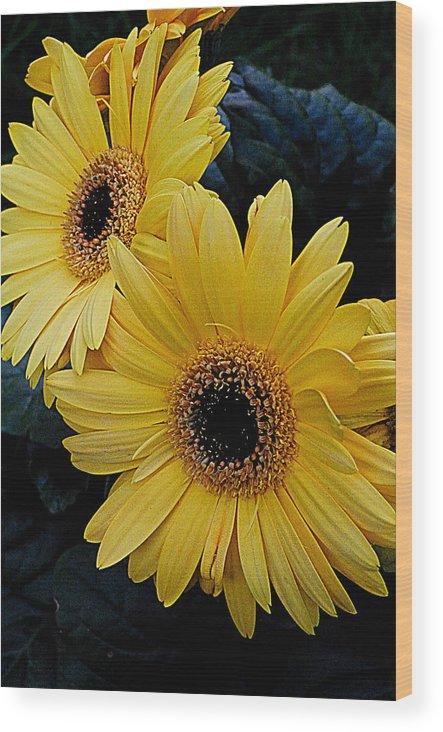 Gerbera Daisies Wood Print featuring the photograph Yellow Gerbera Daisies by James DeFazio
