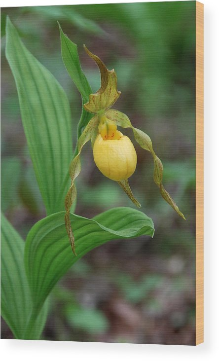Orchid Wood Print featuring the photograph Yellow Lady Slipper by Alan Lenk