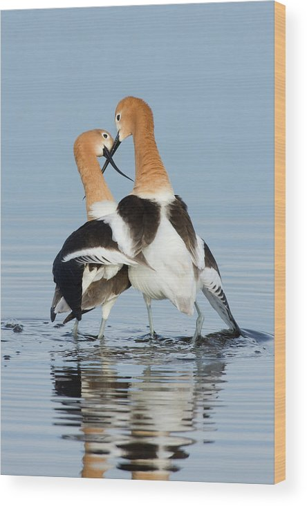 American Avocet Wood Print featuring the photograph American Avocets, Courtship Dance by Ken Archer