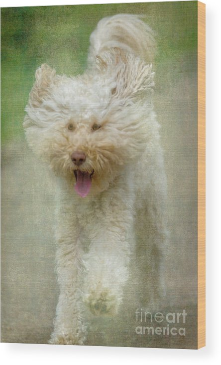 Australian Labradoodle Wood Print featuring the photograph Australien Labradoodle Dog by Heiko Koehrer-Wagner