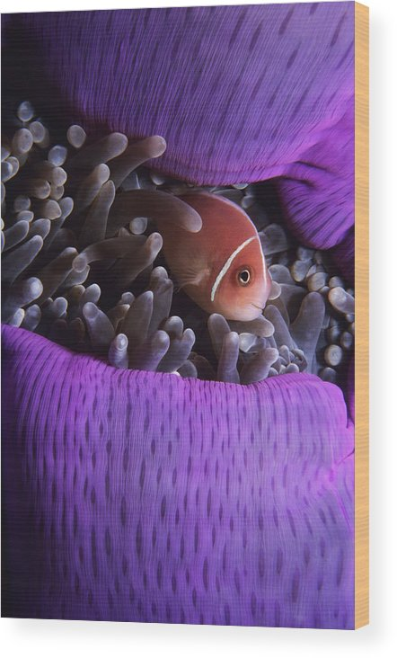 Underwater Wood Print featuring the photograph Clownfish In Purple Anenome by Tammy616