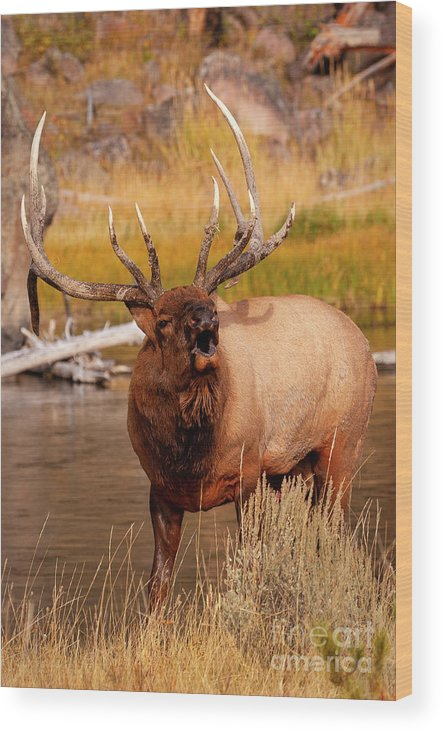 Bull Elk Wood Print featuring the photograph Creekside Bull by Aaron Whittemore