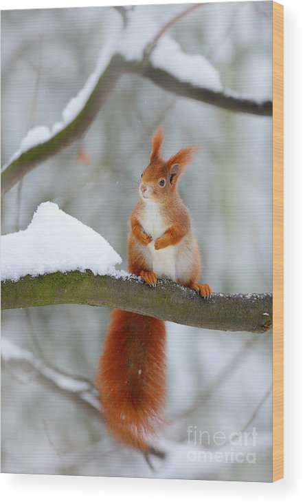 Small Wood Print featuring the photograph Cute Red Squirrel In Winter Scene With by Ondrej Prosicky