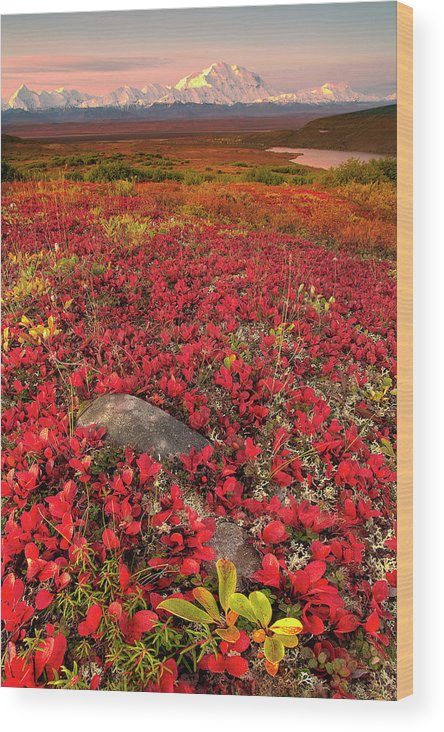 Scenics Wood Print featuring the photograph Denali National Park Fall Colors by Kevin Mcneal