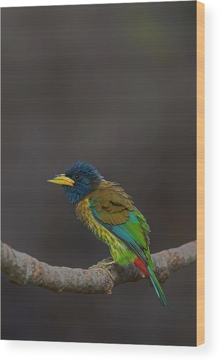 Bird Images For Print Wood Print featuring the photograph Great Barbet by Uma Ganesh