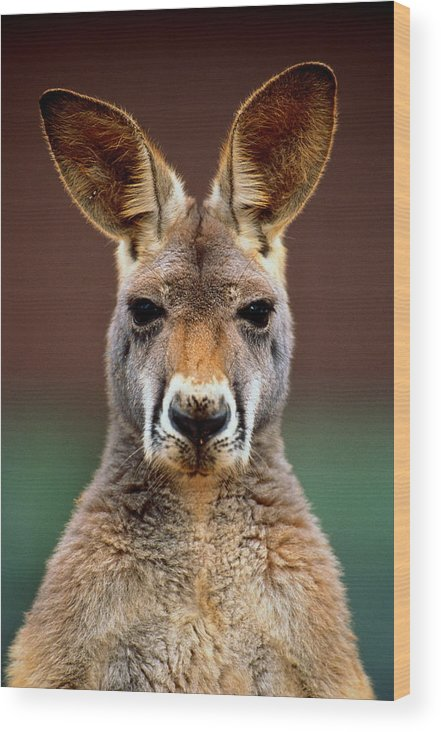 Animal Themes Wood Print featuring the photograph Kangaroo Macropus Sp., Head-shot by Art Wolfe