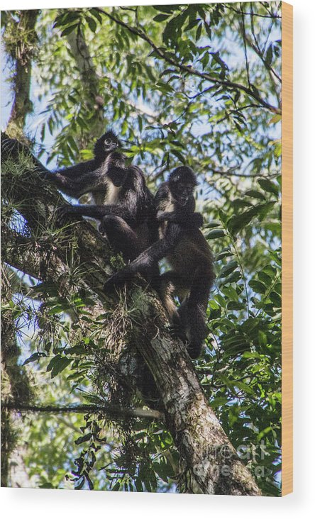 Chiapas Wood Print featuring the photograph Playing In The Treetops by Kathy McClure
