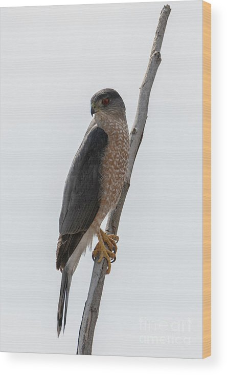 Sharp Shinned Hawk Wood Print featuring the photograph Ready To Pounce by Mike Dawson