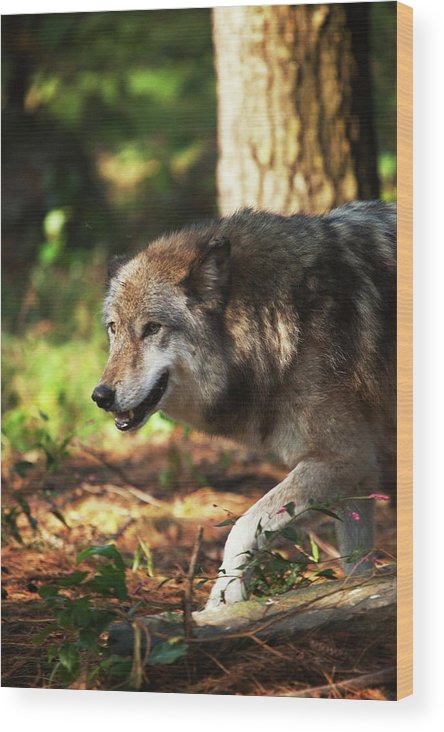Wolf Wood Print featuring the photograph The Gray Wolf by Karol Livote