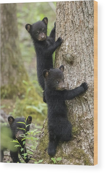 Bear Wood Print featuring the photograph Three Little Bears by Everet Regal