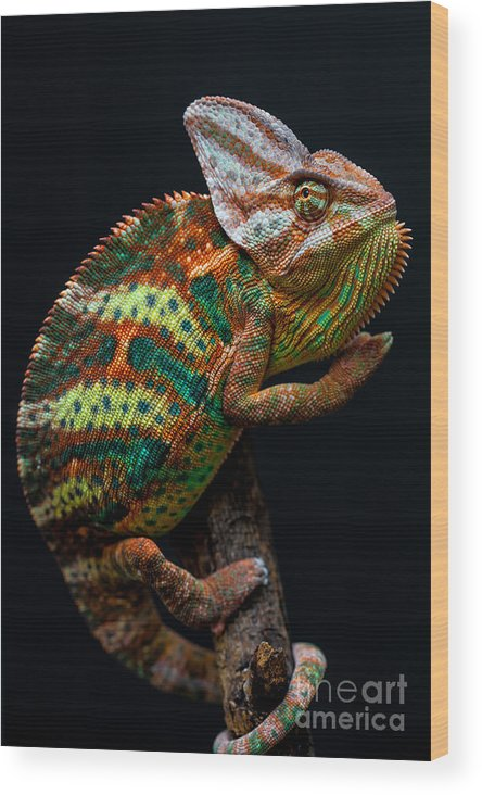 Small Wood Print featuring the photograph Yemen Chameleon by Arturasker