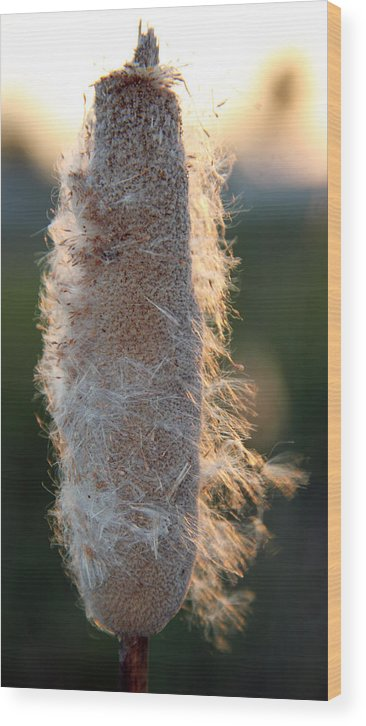 California Wood Print featuring the photograph Sunset Cat Tail Lathrop California by Paul Shefferly