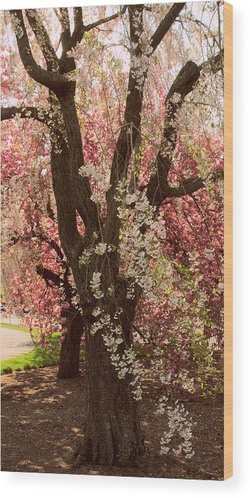 Weeping Cherry Tree Wood Print featuring the photograph Weeping Cherry Panel by Jessica Jenney