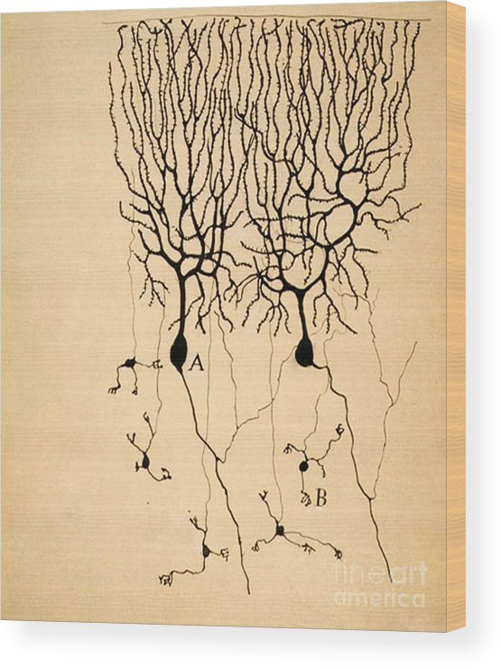 Purkinje Cells Wood Print featuring the photograph Purkinje Cells By Cajal 1899 by Science Source