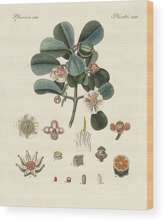 Bertuch Wood Print featuring the drawing The Rose Coloured Clusia by Splendid Art Prints