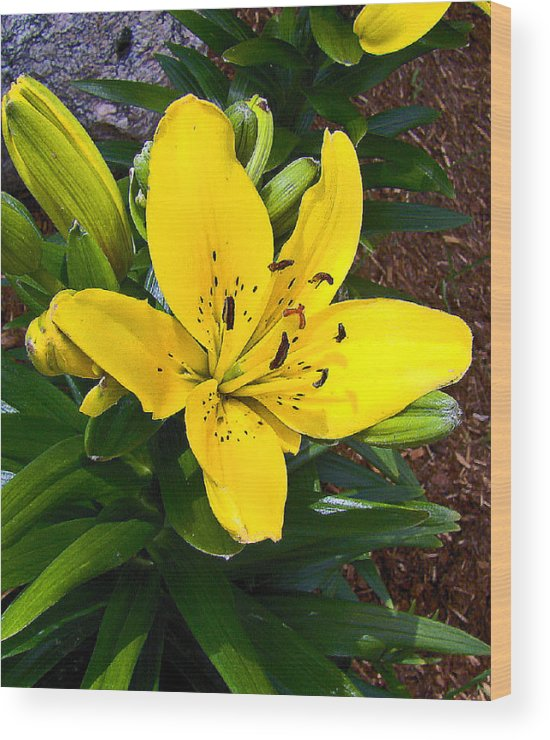 Yellow Lily Beauty Wood Print featuring the photograph Yellow Lily Beauty by Lucien Beauley