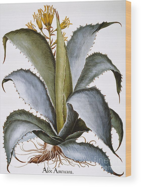1613 Wood Print featuring the photograph Agave, 1613 by Granger