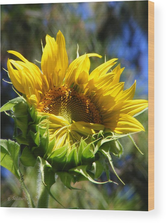 Sunflower Wood Print featuring the photograph Bashfull by Gail Salitui