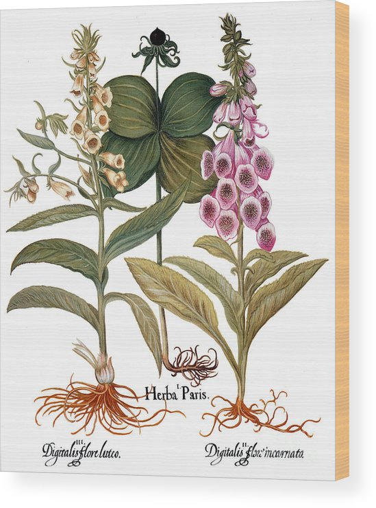 1613 Wood Print featuring the photograph Foxglove And Herb Paris by Granger