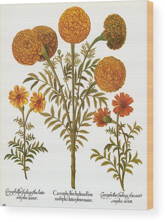 1613 Wood Print featuring the photograph Marigolds, 1613 by Granger