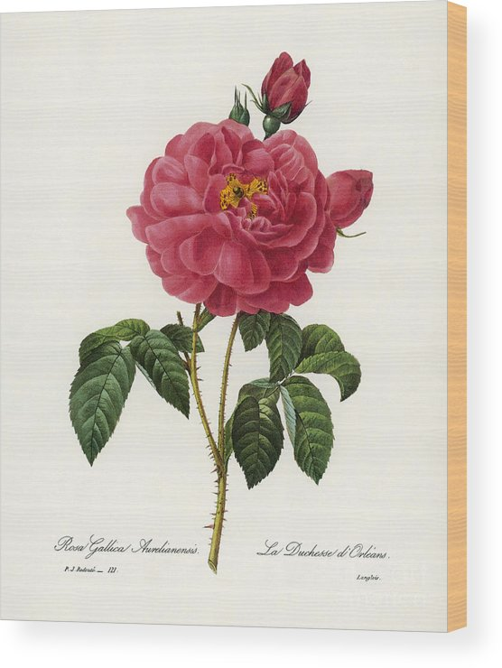 1833 Wood Print featuring the photograph Rosa Gallica by Granger