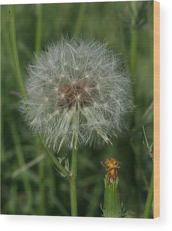 Milkweed Wood Print featuring the photograph Waiting For A Breeze by Terry Burgess