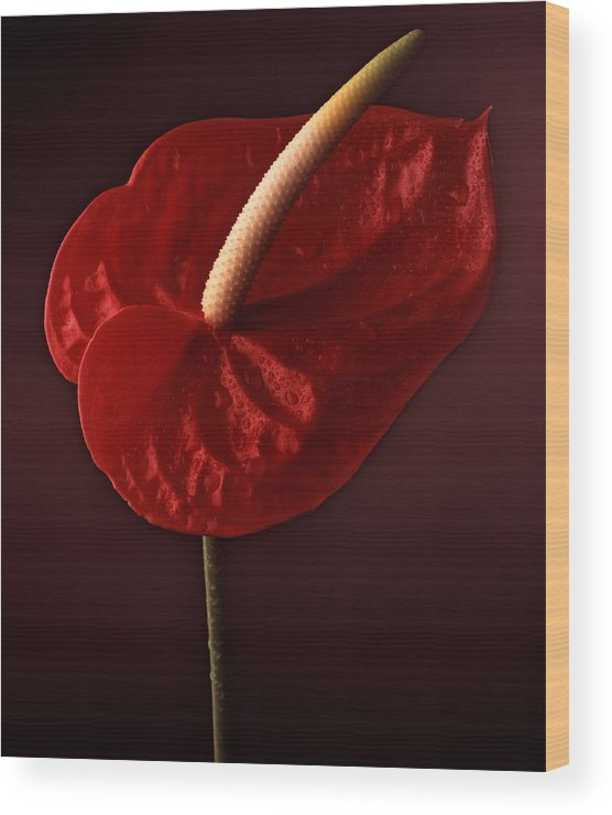Still Life Wood Print featuring the photograph Anthurium by Joseph Gerges