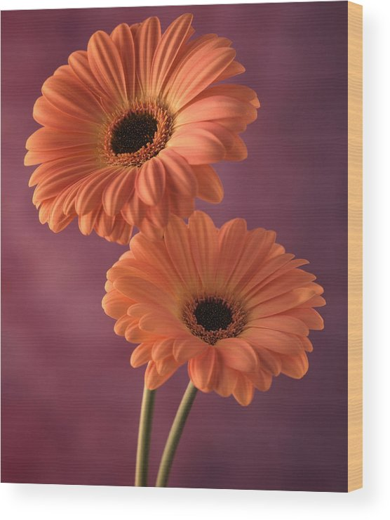 Flora Wood Print featuring the photograph Two Gerberas 2 by Joseph Gerges