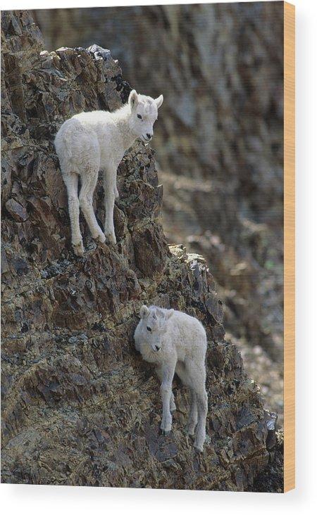 Alaska Wood Print featuring the photograph Usa, Alaska, Dall Sheep, Dall Lamb by Gerry Reynolds