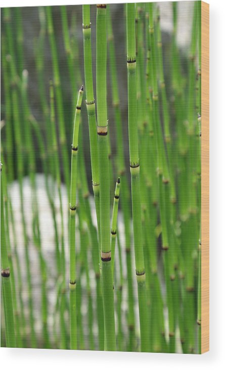 Bamboo Wood Print featuring the photograph Bamboo by Kristen Mohr
