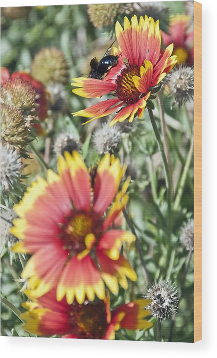 Bee Wood Print featuring the photograph Bee And Flower by Heath Yonaites