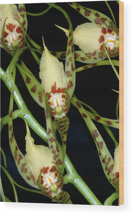 Brassia Caudata. Wood Print featuring the photograph Brassia Caudata. by Yves Tzaud/science Photo Library