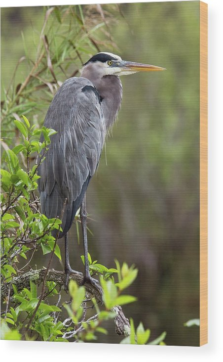 Nobody Wood Print featuring the photograph Great Blue Heron by Bob Gibbons