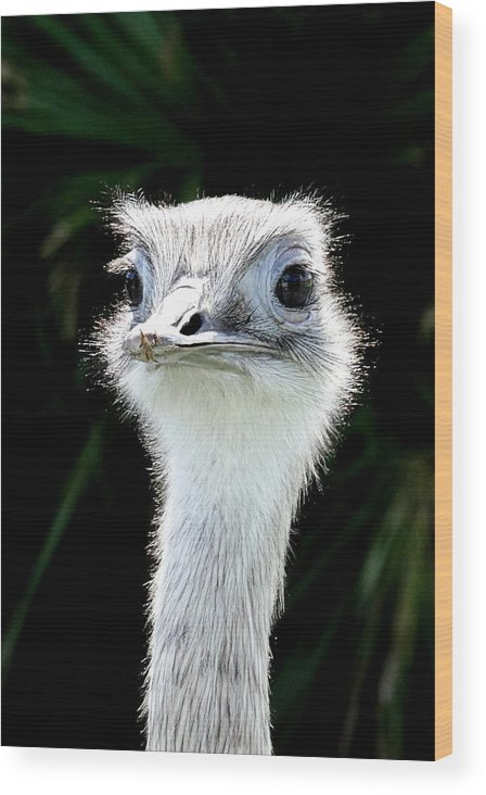 Greater Rhea Wood Print featuring the photograph Greater Rhea by Ines Ganteaume
