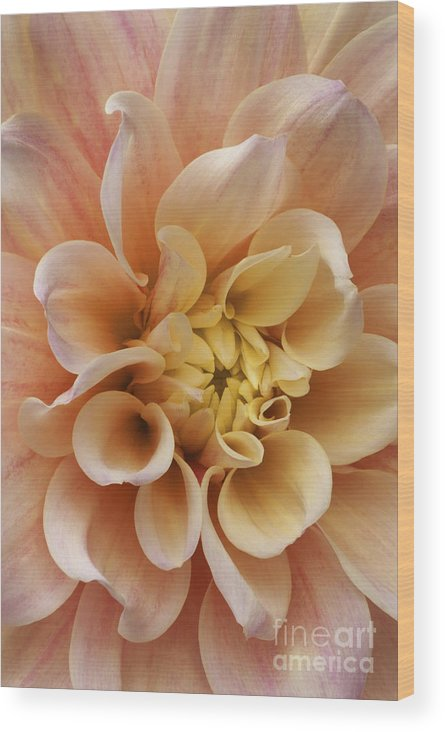 Dahlia Wood Print featuring the photograph Peach Dahlia by Paul W Faust - Impressions of Light