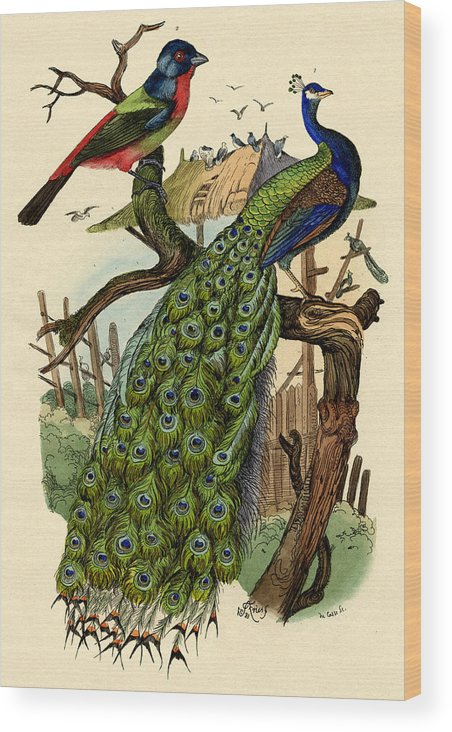 Peacock Wood Print featuring the drawing Peacock by French School