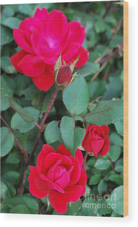 Roses Wood Print featuring the photograph Progression by Gayle Melges