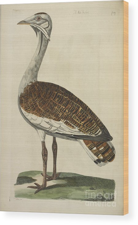 Bird Wood Print featuring the photograph The Male Bustard by British Library