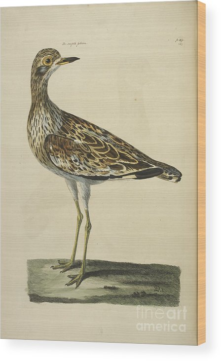 Norfolk Wood Print featuring the photograph The Norfolk Plover by British Library