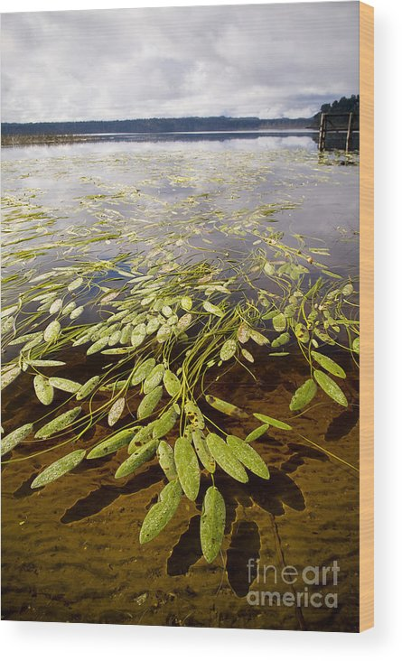 Brunner Wood Print featuring the photograph Water Plant by Tim Hester