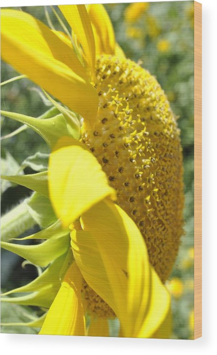 Big Yellow Sunflower Wood Print featuring the photograph Big Yellow Sunflower by Brigette Hollenbeck