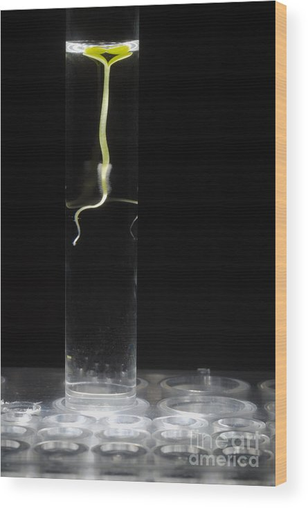 Beginnings Wood Print featuring the photograph Seedling In Test Tube With Water by Sami Sarkis