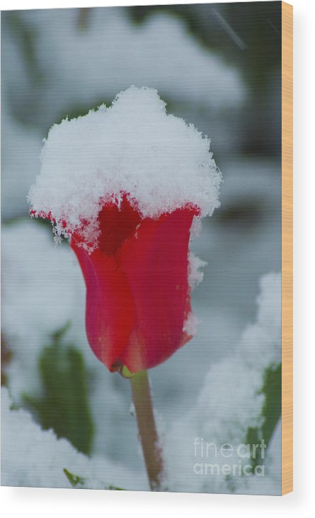 Tulip Wood Print featuring the photograph Snowy Red Riding Hood by Louise Magno