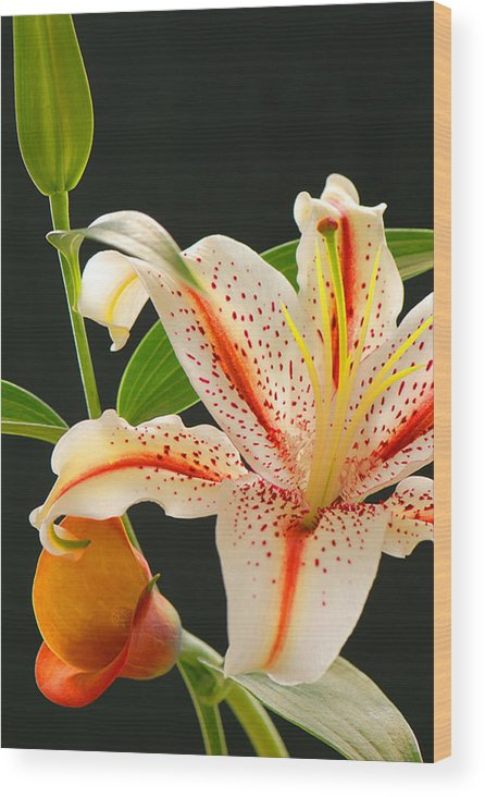 Lily Wood Print featuring the photograph Lily by Dennis Hammer