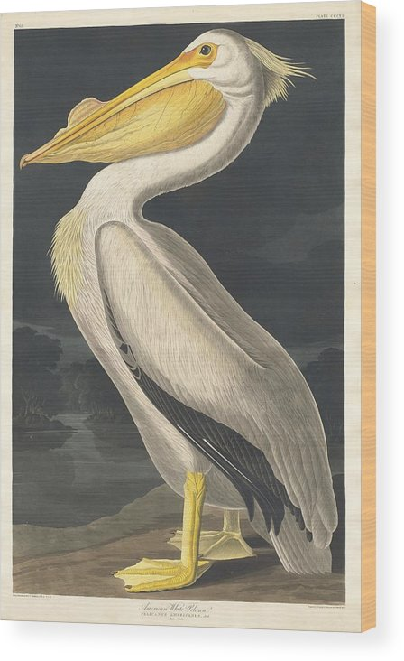 Audubon Wood Print featuring the drawing American White Pelican 5 by Dreyer Wildlife Print Collections
