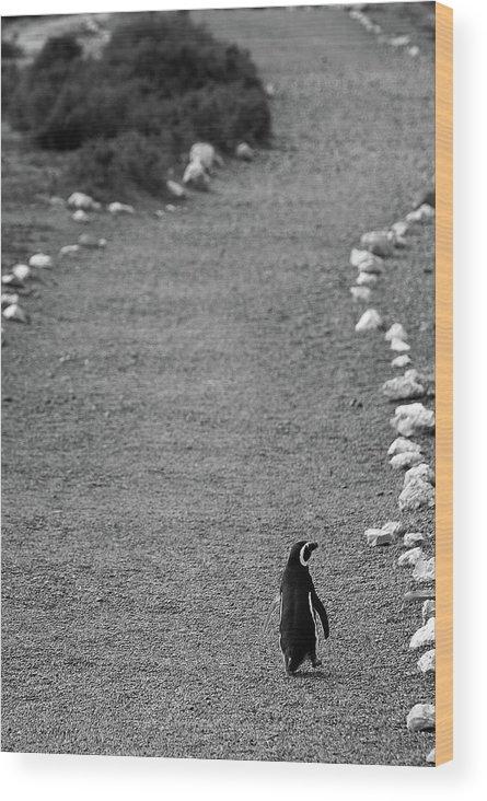 Penguin Wood Print featuring the photograph A Long Walk Home by Julian Regan